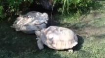 Video:ters-donen-kaplumbagayi-arkadasi-kurtardi