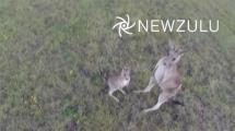 Video:ucan-kamerayi-goren-kanguru-bakin-ne-yapti