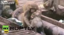 Video:maymun-elektrige-kapilan-arkadasini-boyle-kurtardi