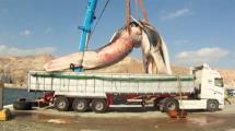 Video:iste-dunyanin-en-buyuk-balinasi-35-ton