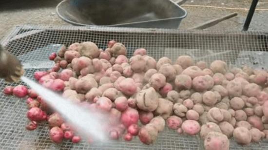 Kırmızı patateslerin yıkanması