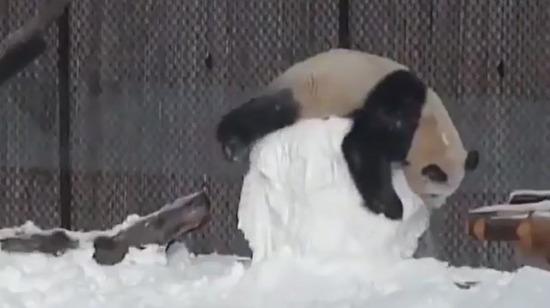 Pandalar her zaman ve her yerde sakarlığa devam ediyor