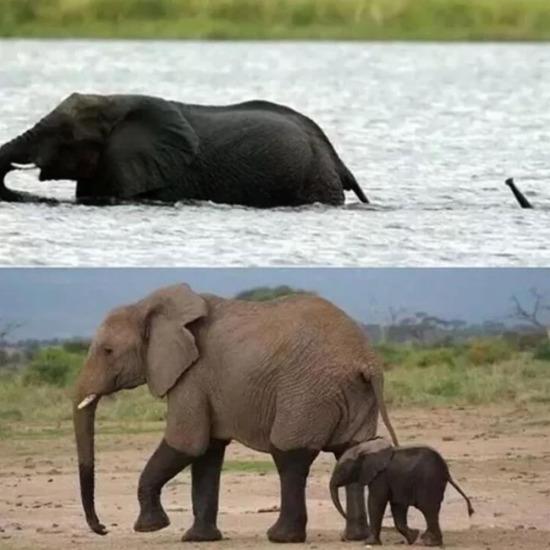 Nehirden geçen anne fil ve yavrusu :)