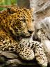 Kedigiller ailesinden, Asya ve Afrika'da yaşayan yırtıcı bir memeli. Pars veya Panter olarak da bilinir.
