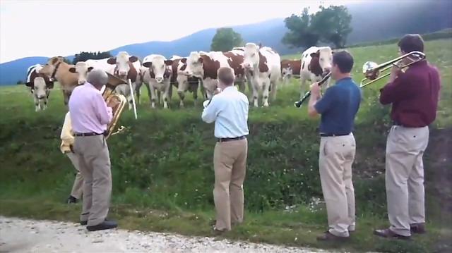 Caz konserine büyük ilgi gösteren inekler