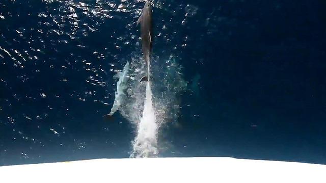 Yunusların gemiyle yarışı kamerada